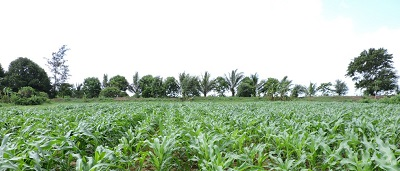 Unlocking maize yield potential in Somalia