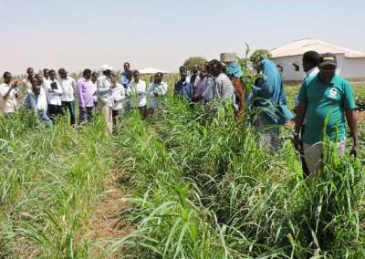 SUDAN GRASS_STUDVET_BUDSCN4626