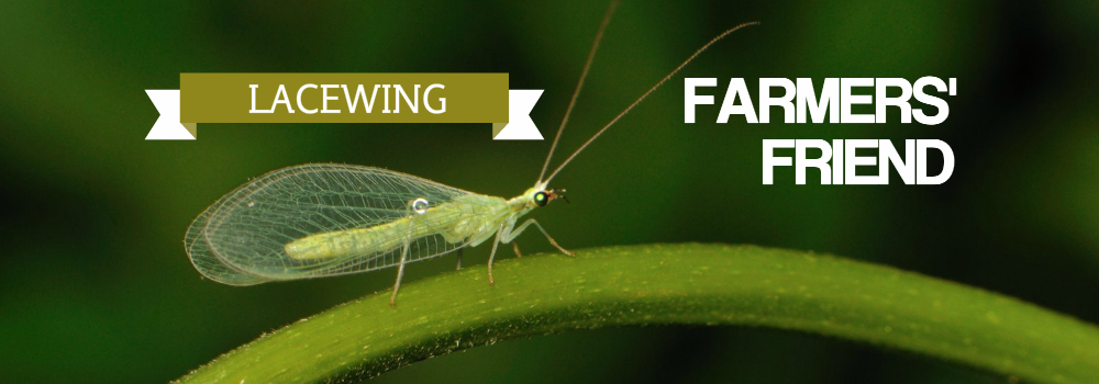 Lacewings Farmers' Friend!