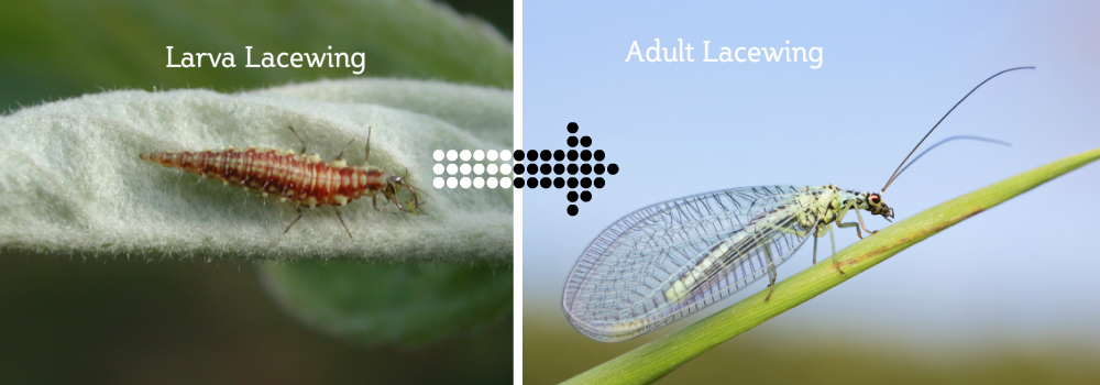larva to adult lacewing