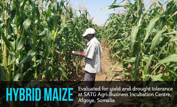 New Horizon for Maize Producers in Somalia | SATG | Somali