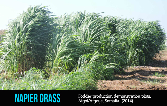 Napier Grass, 'magically' a multipurpose fodder crop
