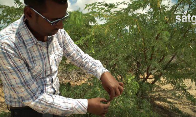 Cali garoob / Garanwa (Algroba Tree)